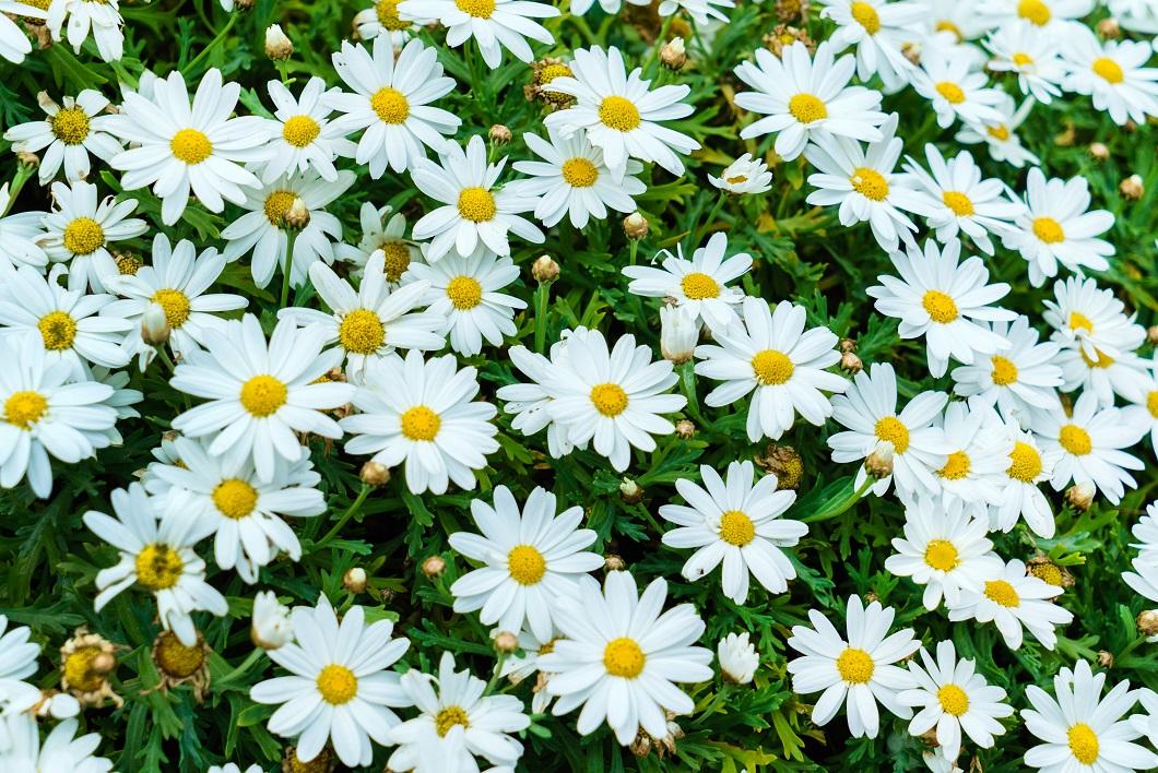 nice daisies